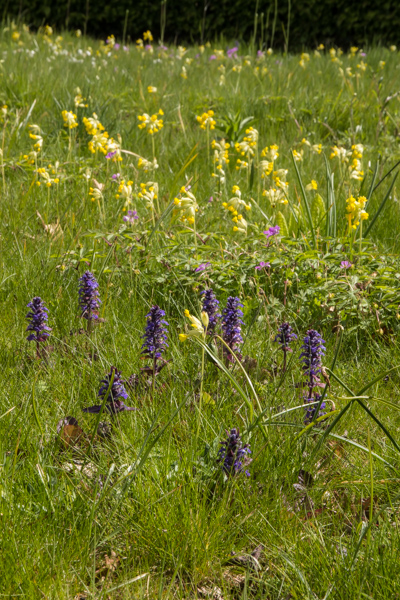 Cowlsips and bugle in the alpine meadow