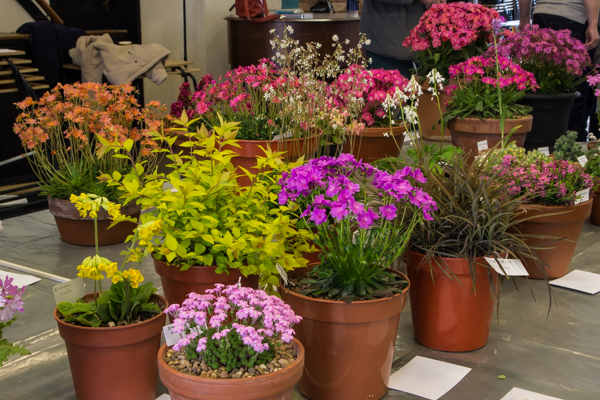 Small four pans rock plants (Exhibitor: Anne Vale)