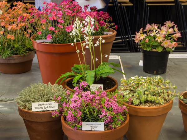 Four small pans of rock plants (Exhibitor: Anne Vale)