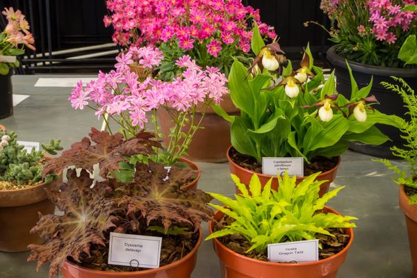 Four small pans of rock plants (Exhibitor: Diane Clement)