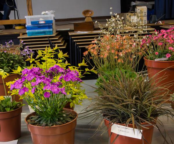 Four small pans of rock plants (Exhibitor: Michael Sullivan)