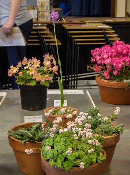 Four small pans of rock plants (Exhibitor: Neil Hubbard)