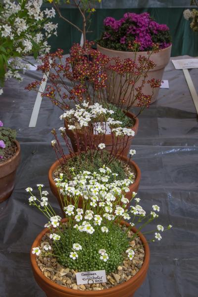 Three pans of Saxifraga (Exhibitor: Mark Childerhouse)