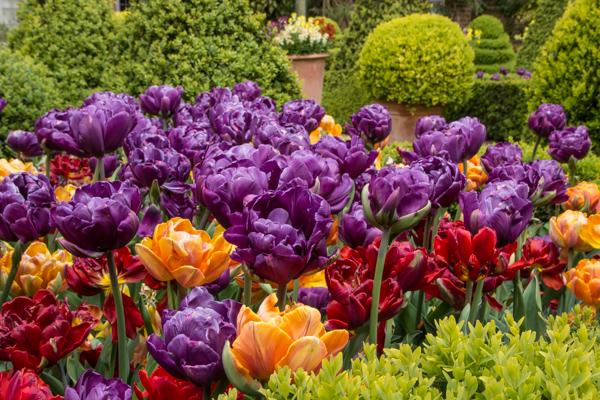 Tulips in the Dutch garden
