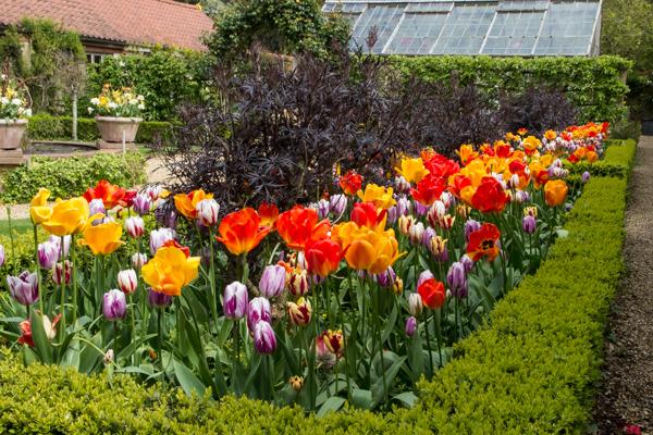 Tulips in the glasshouse garden