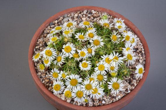 Townsendia rothrockii (