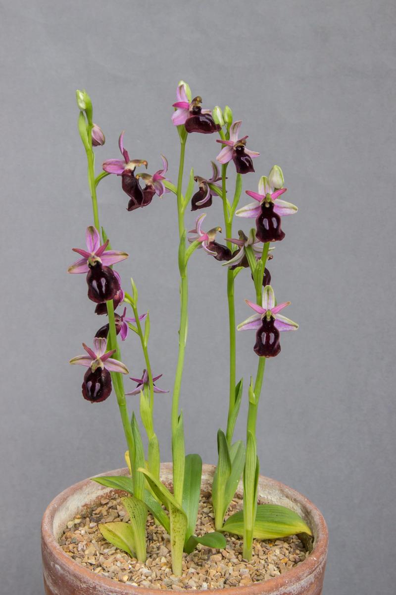 Ophrys ferrum
