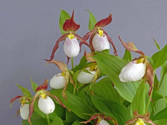 Cypripedium kentukiense