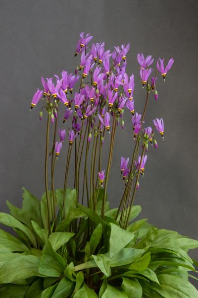 Dodecatheon pauciflorum
