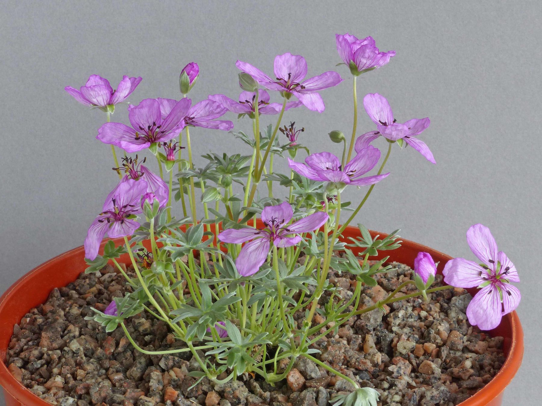 East Cheshire 2019 | Show Reports - Alpine Garden Society