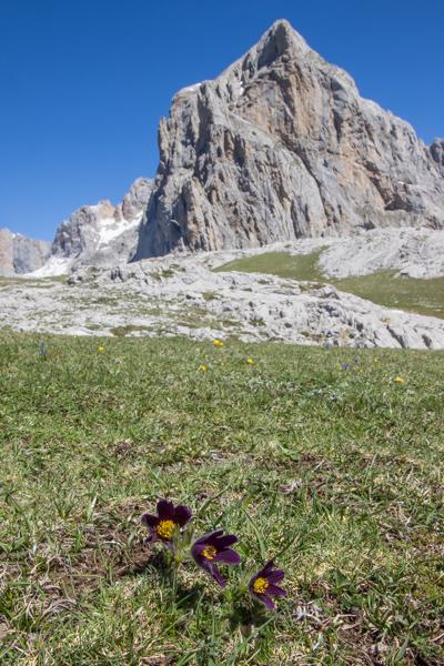 Pulsatilla rubra (pasque flower) on a mountain side
