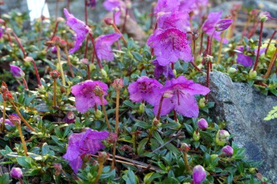 Rhododendron keleticumsubsp.radicans
