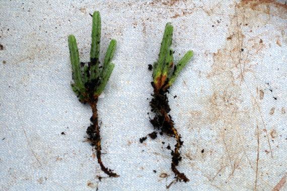 Cassiope wardii cuttings