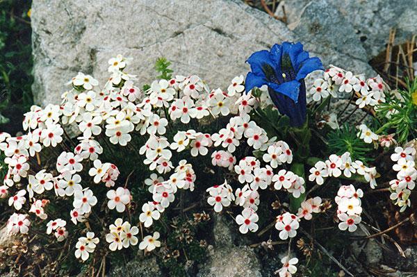 Gentiana acaulis and Androsace villosa