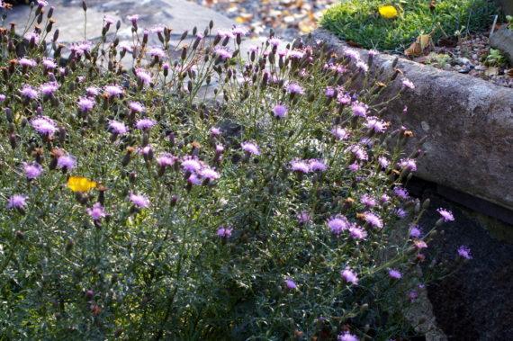 Serratula tinctoria subsp.seoanei