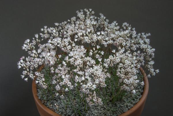 Allium callimischon