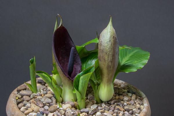 Arum pictum
