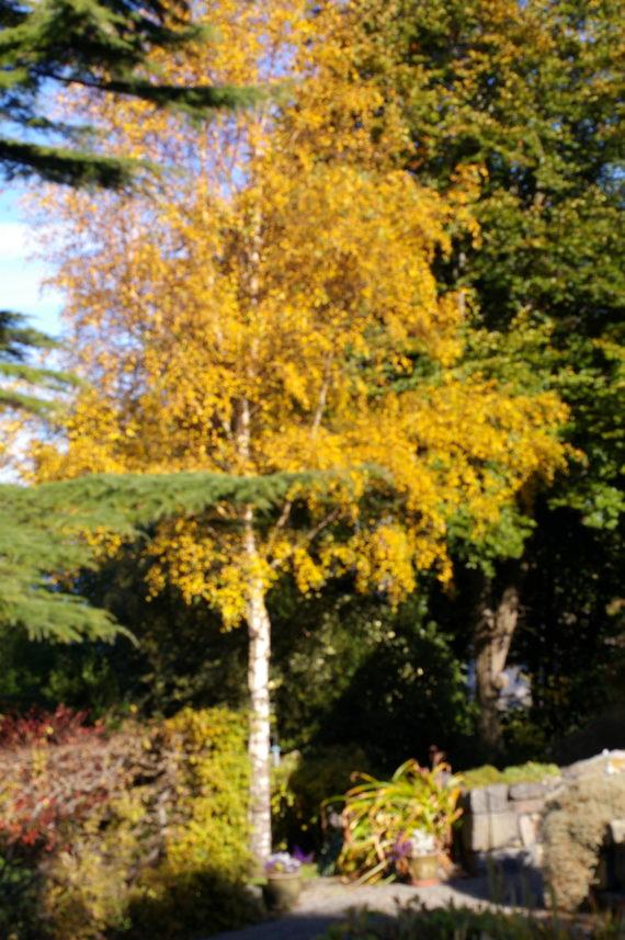 Silver birch in autumn colour