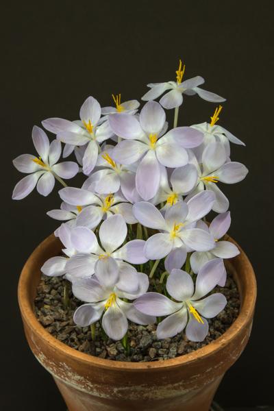 Crocus goulimyi subsp. leucanthus