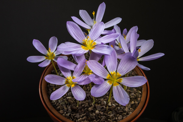Crocus kotschyanus subsp. kotschyanus