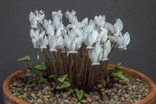 Cyclamen hederifolium'Tilebarn Helena'