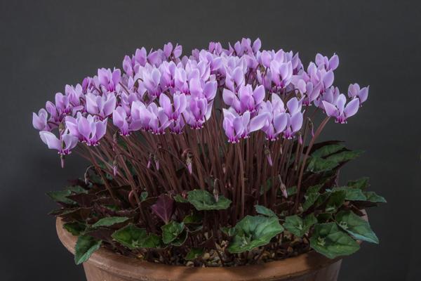 Cyclamen hederifolium subsp. crassifolium ex Zakynthos