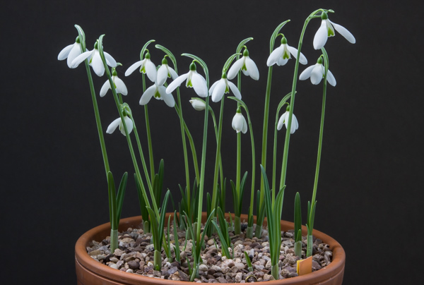 Galanthus peshmenii 'Kastellorizo'