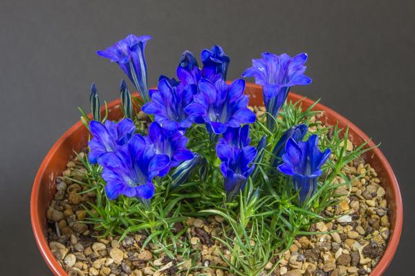 Gentiana 'Blue Silk'