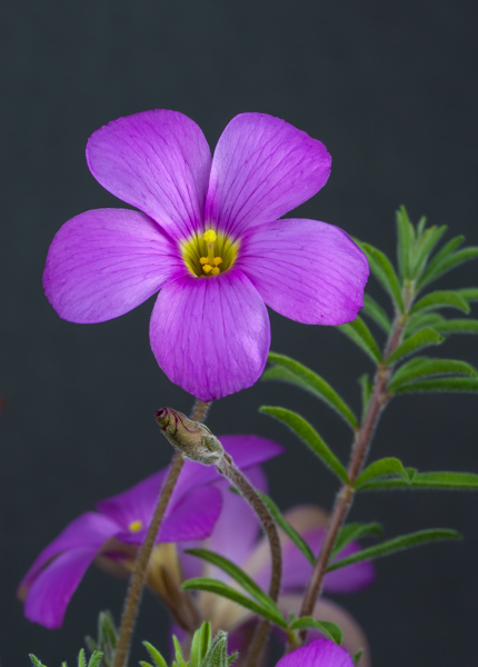 Oxalis hirta purple form