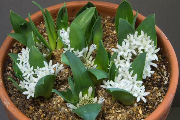 Lachenalia ensifolia subsp. ensifolia