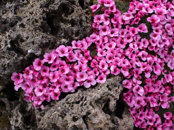 Saxifraga 'Redpoll' growing on tufa
