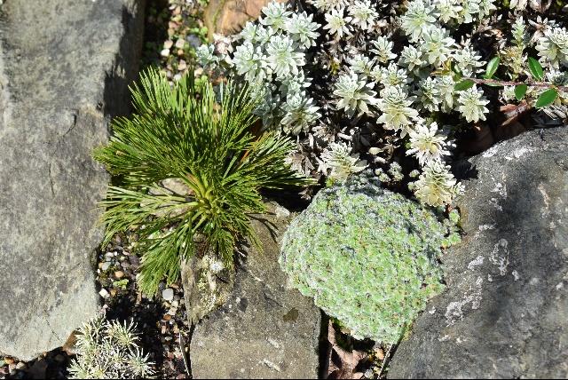 Aciphylla hectori and Leucogynes leontopodium in Carol & Ian Bainbridge's garden.