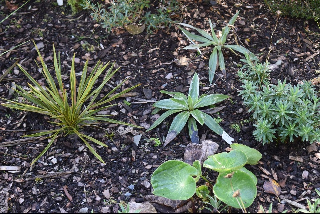 Ranunculus lyallii and Celmisia walkeri