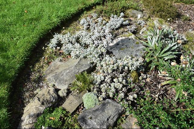 New Zealand planting in Carol and Ian Bainbridge's garden in Gatehouse of Fleet, including Myosotis pulvinaris.