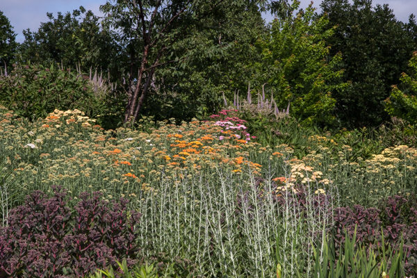 Achillea at RHS Hyde Hall