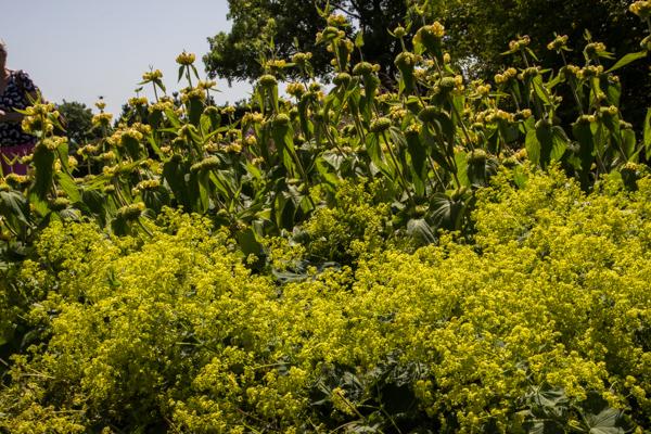 Alchemilla mollis & Phlomis russeliana