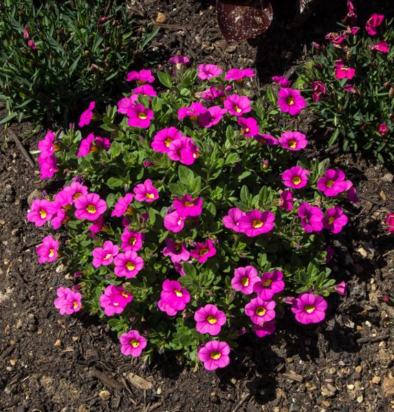 Calibrachoa 'Kabloom Pink'