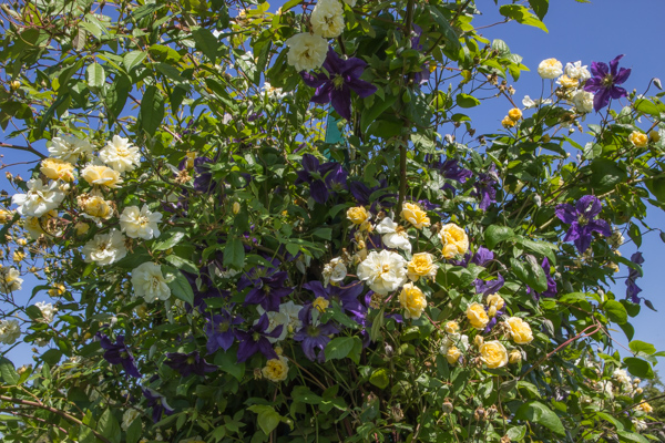 Clematis & Rosa