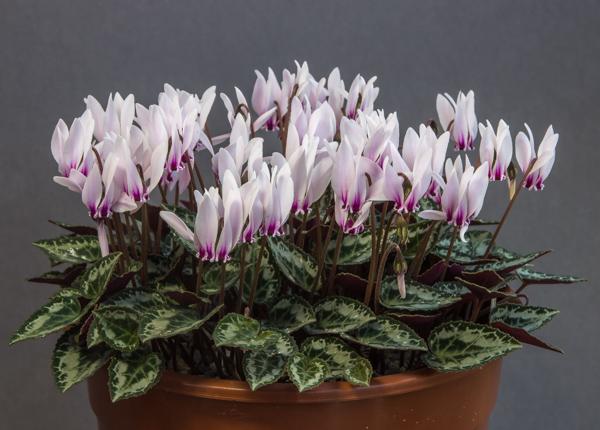 Cyclamen graecum subsp. candicum