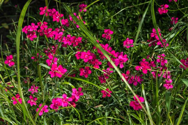 Dianthus deltoides 'Brilliant'