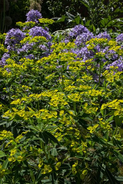 Euphorbia & Campanula lactiflora