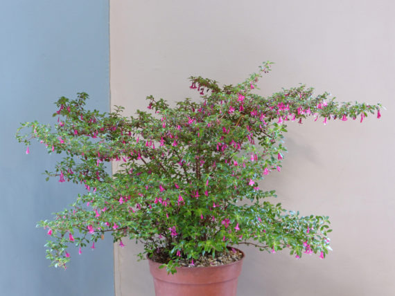 Fuchsia 'Lottie Hobley'