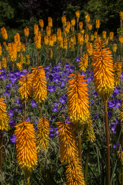 Kniphofia 'Bees Sunset'