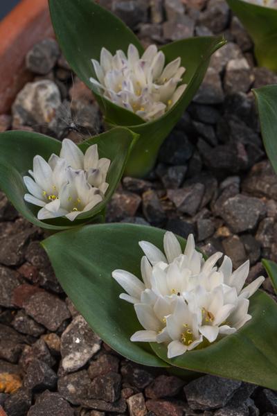 Lachenalia ensifolia subsp. maughanii