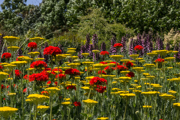 Lychnis chalcedonica & Achillea at RHS Hyde Hall