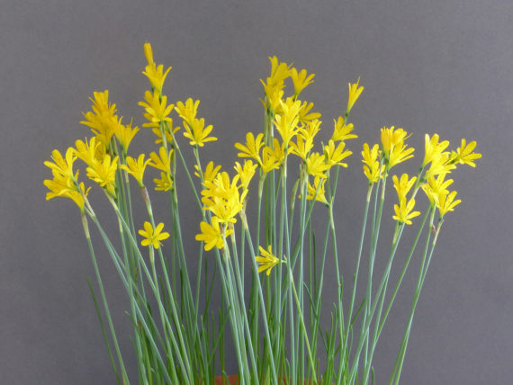 Narcissus cavanillesii