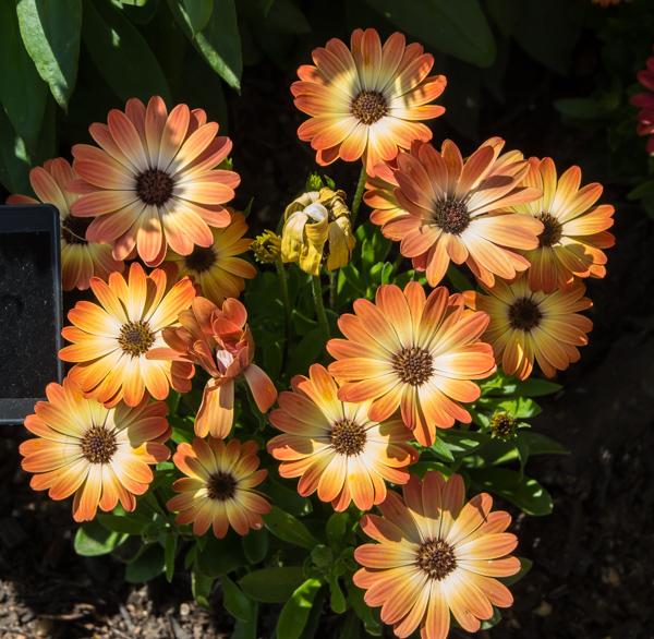 Osteospermum 'Akila Sunset Shades'