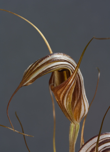 Pterostylis coccina