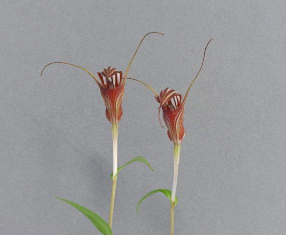 Pterostylis coccinea
