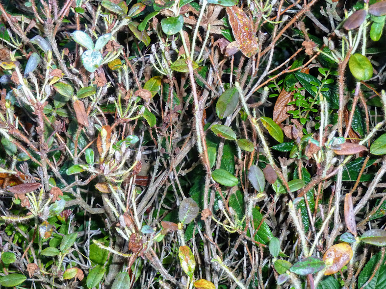 Rhododendron lepidostylum heavily infected with Powdery mildew (Erysiphe sp.)